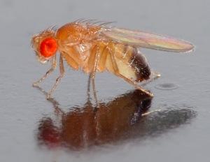 Dmelanogaster