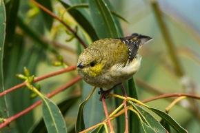 Is this tiny Australian bird an ecosystemengineer?
