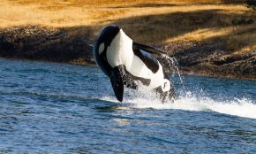 Killer whale menopause evolved from mother-daughter conflict